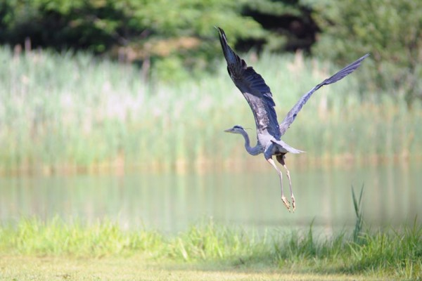 Image of a blue heron flying above our bass fishing pond, surrounded by grass and trees.