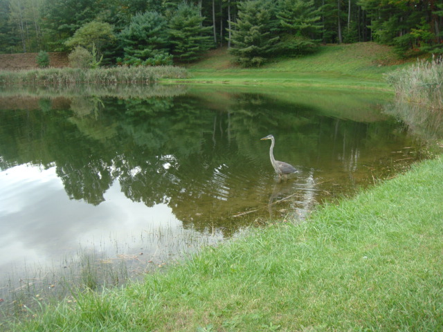 Guest submitted photo – blue heron
