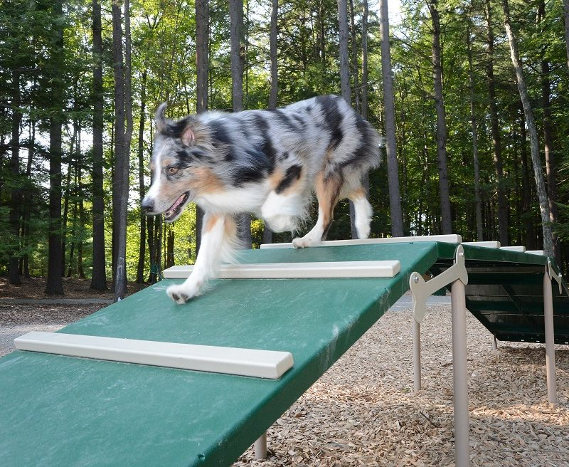 dog enjoying agility area