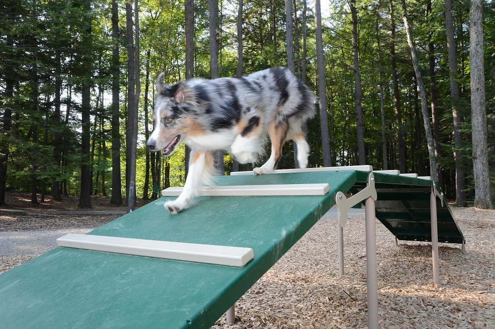 Agility Area with dog trying equipment out