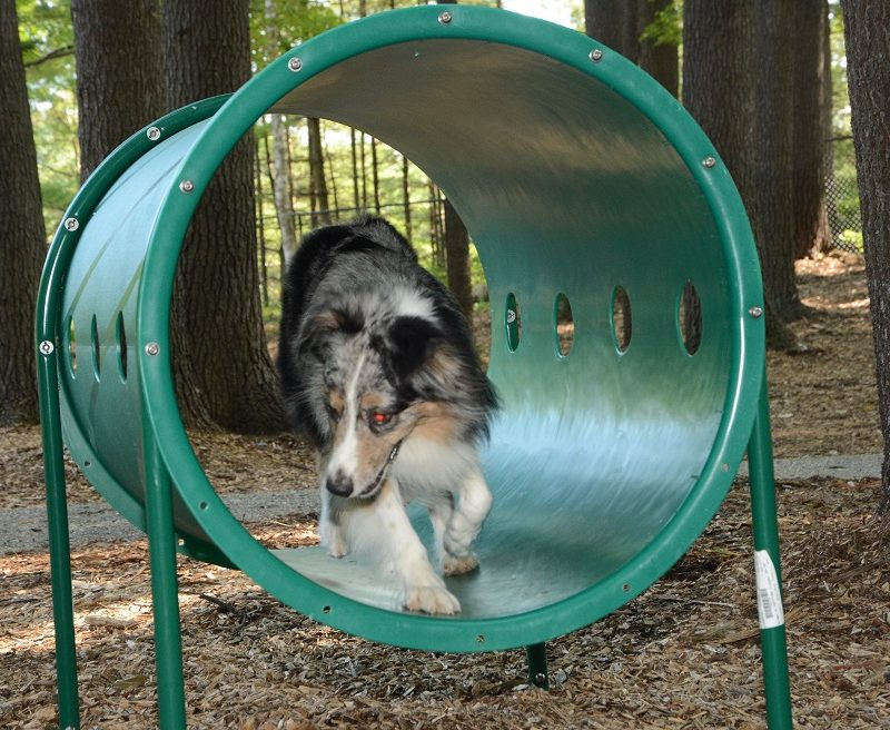 dog running through tube in agility area