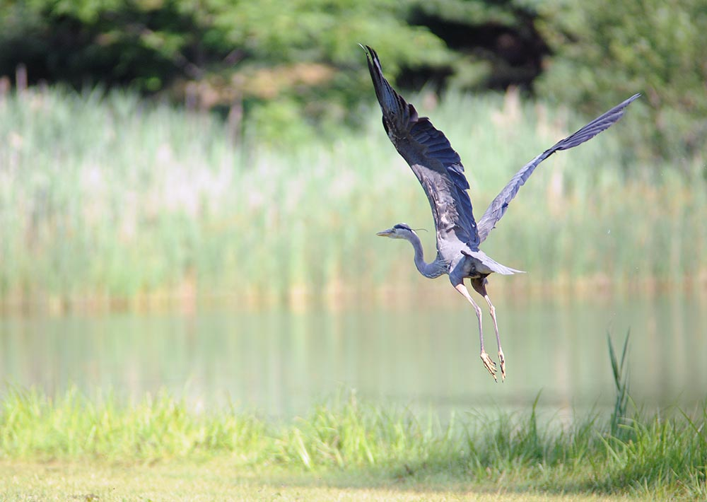 Bird flying over one of our ponds