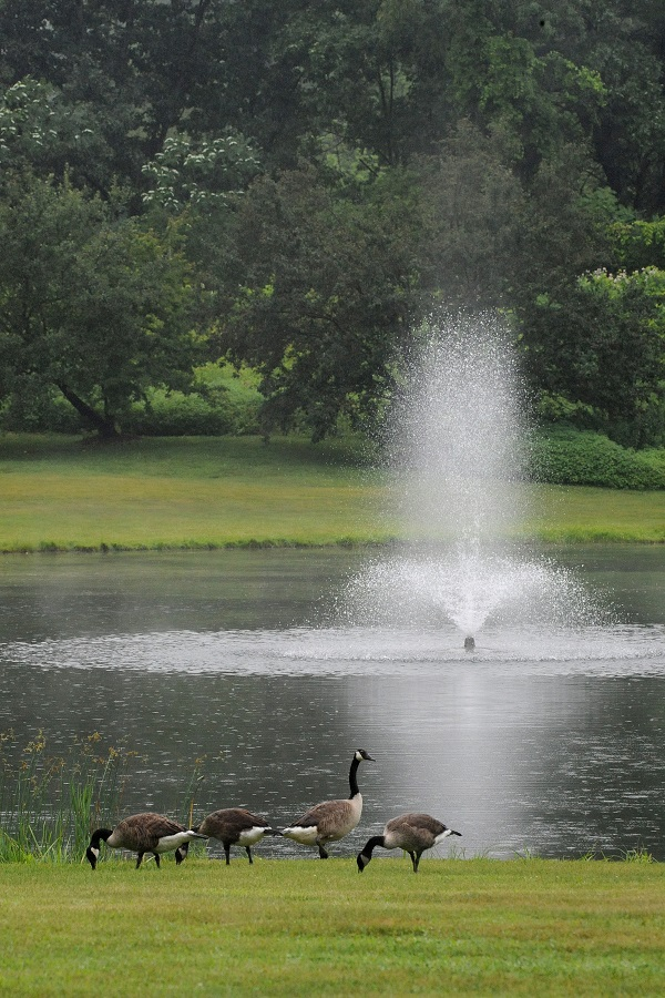It's not uncommon to see a flock of geese around our ponds
